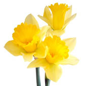 Trio of Daffodils